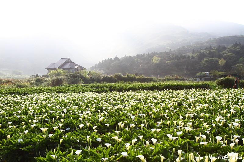 竹子湖海芋節 (17)