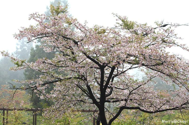 2011 阿里山櫻花季 (142)