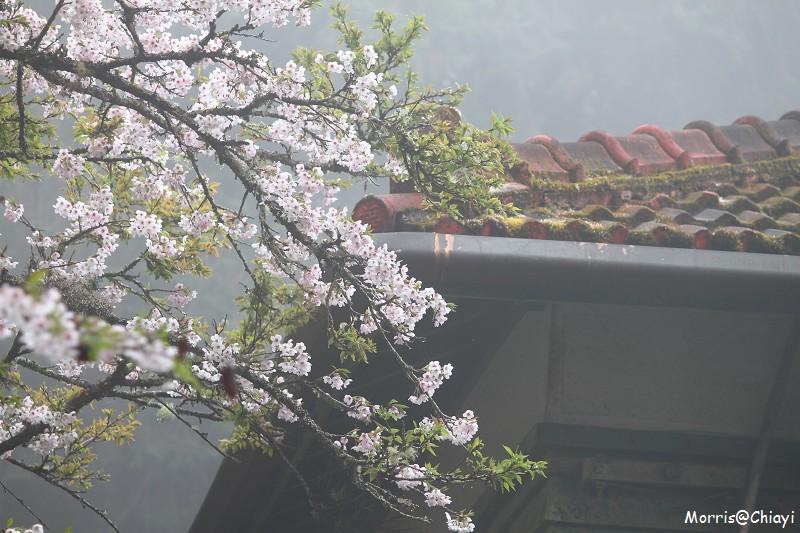 2011 阿里山櫻花季 (108)