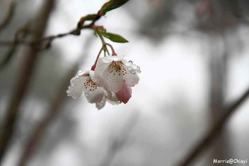 2011 阿里山櫻花季 (6)