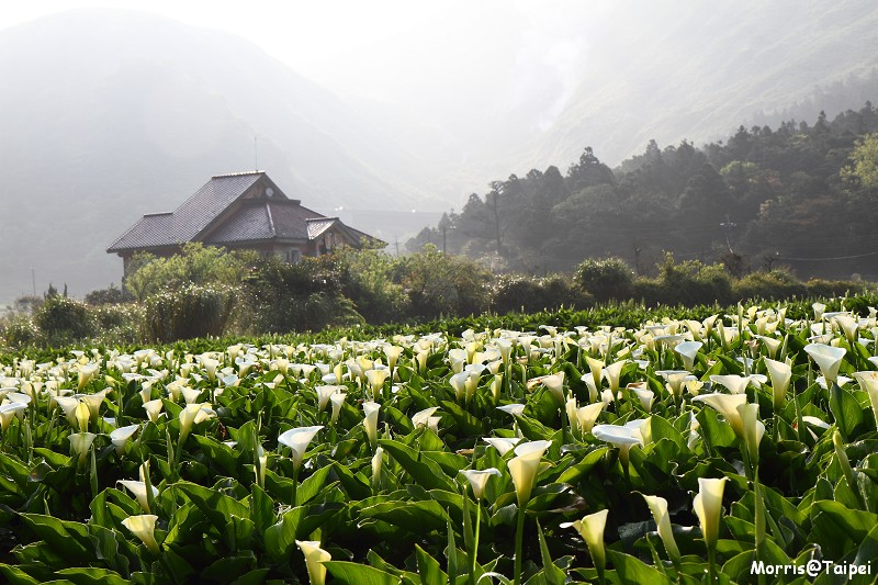 竹子湖海芋節 (14)