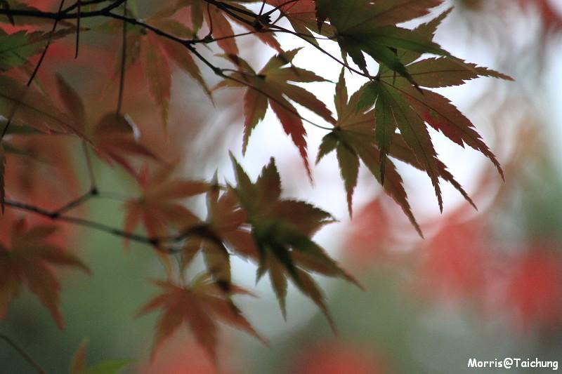 2011 福壽山楓葉 (64)