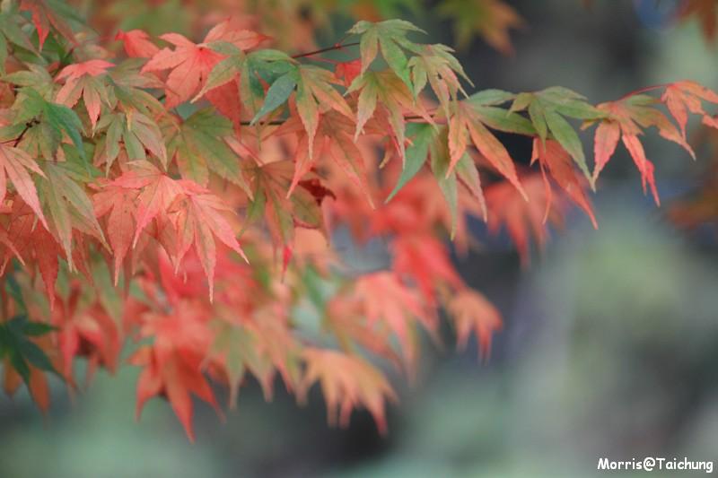 2011 福壽山楓葉 (14)
