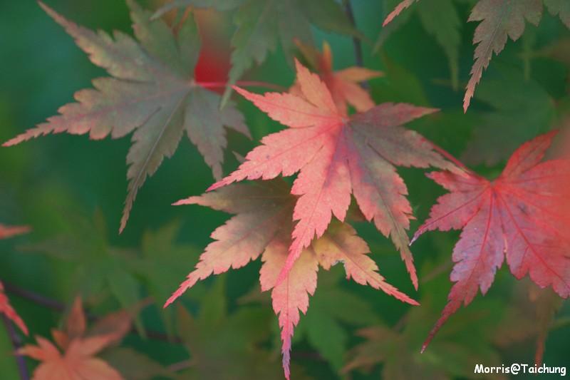 2011 福壽山楓葉 (8)