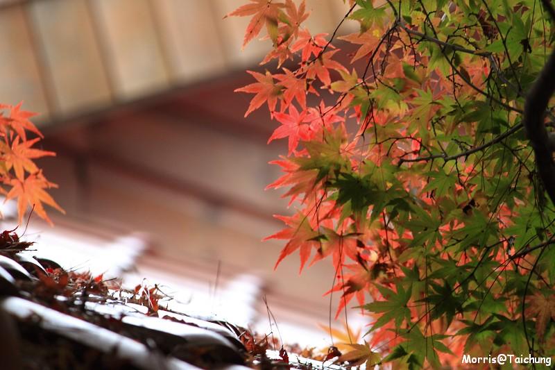 2011 福壽山楓葉 (43)