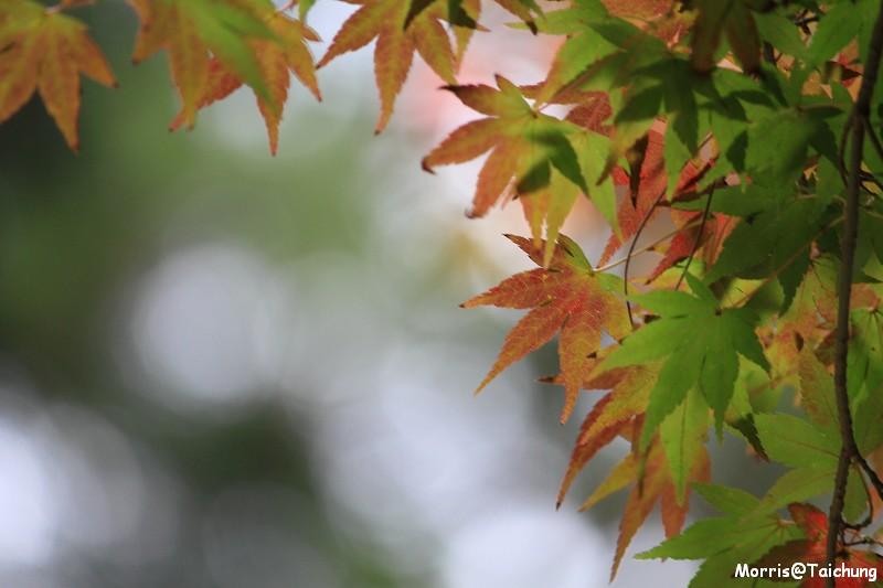 2011 福壽山楓葉 (32)