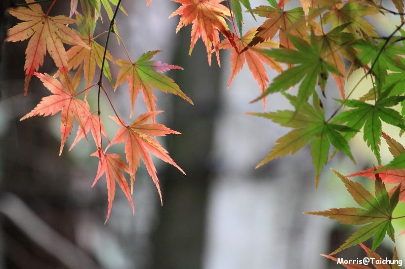 2011 福壽山楓葉 (62)