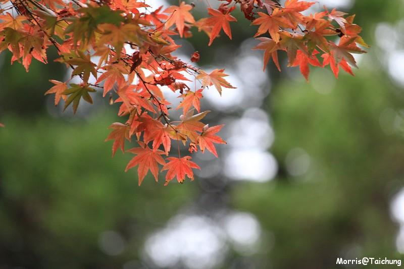 2011 福壽山楓葉 (59)
