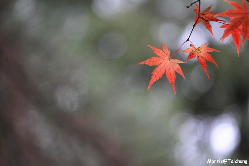 2011 福壽山楓葉 (53)