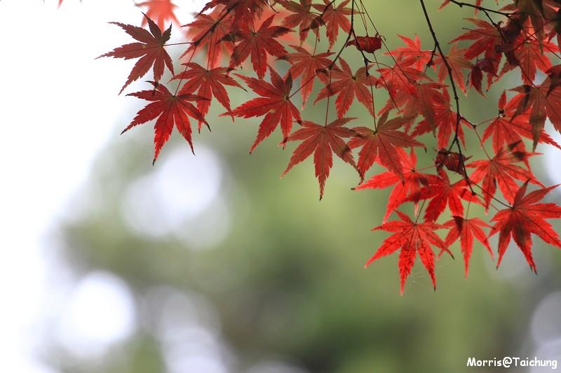2011 福壽山楓葉 (45)