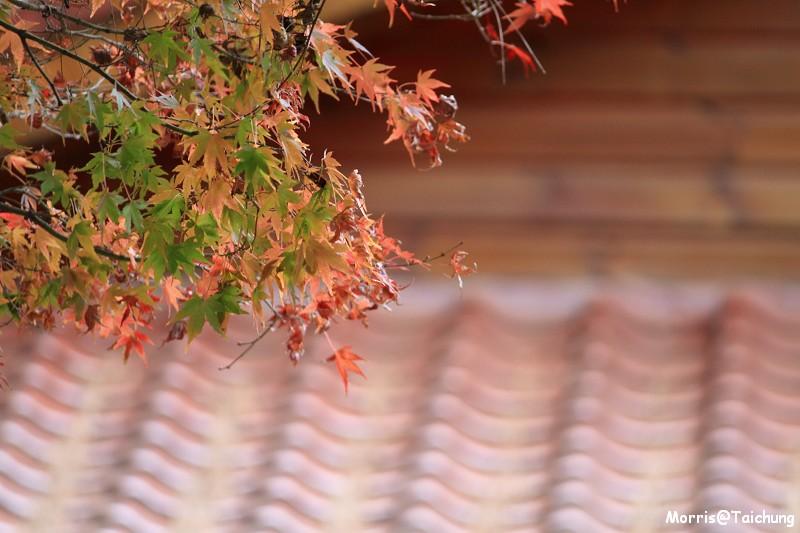 2011 福壽山楓葉 (41)
