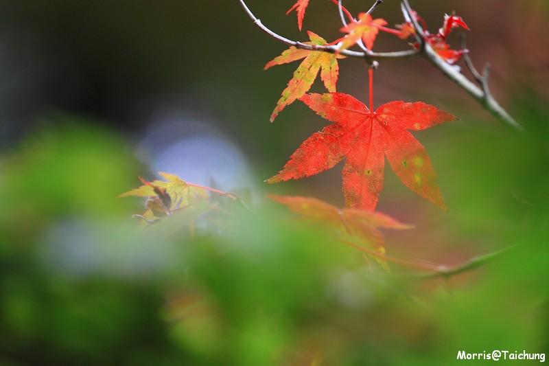 2011 福壽山楓葉 (38)