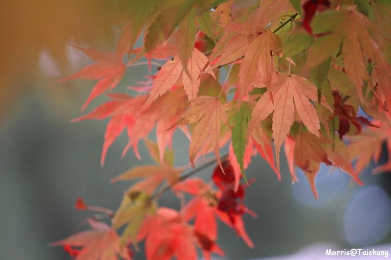 2011 福壽山楓葉 (57)