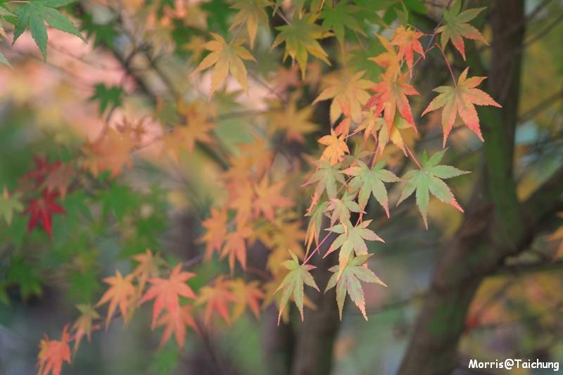 2011 福壽山楓葉 (13)
