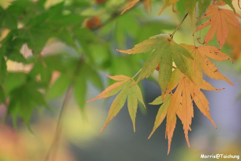 2011 福壽山楓葉 (27)