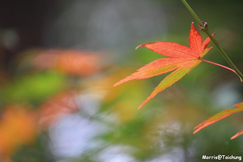 2011 福壽山楓葉 (56)