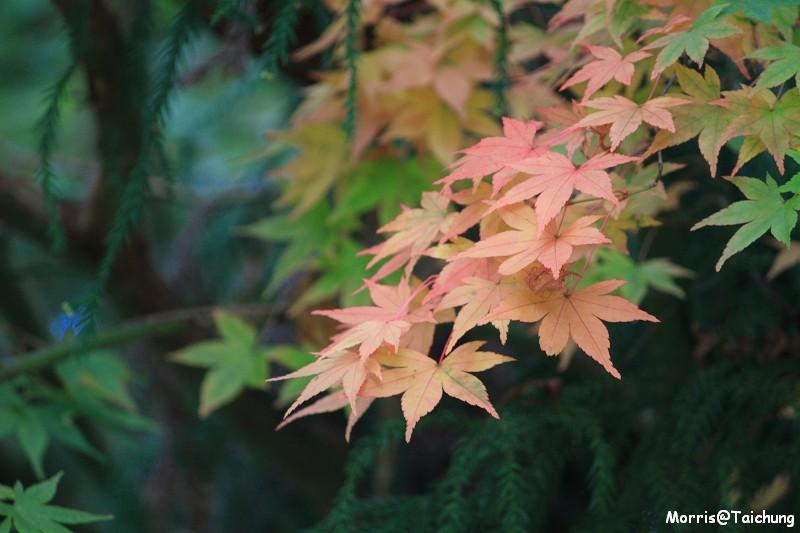 2011 福壽山楓葉 (16)