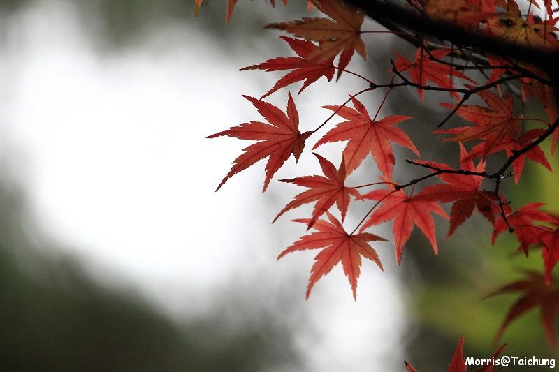 2011 福壽山楓葉 (66)
