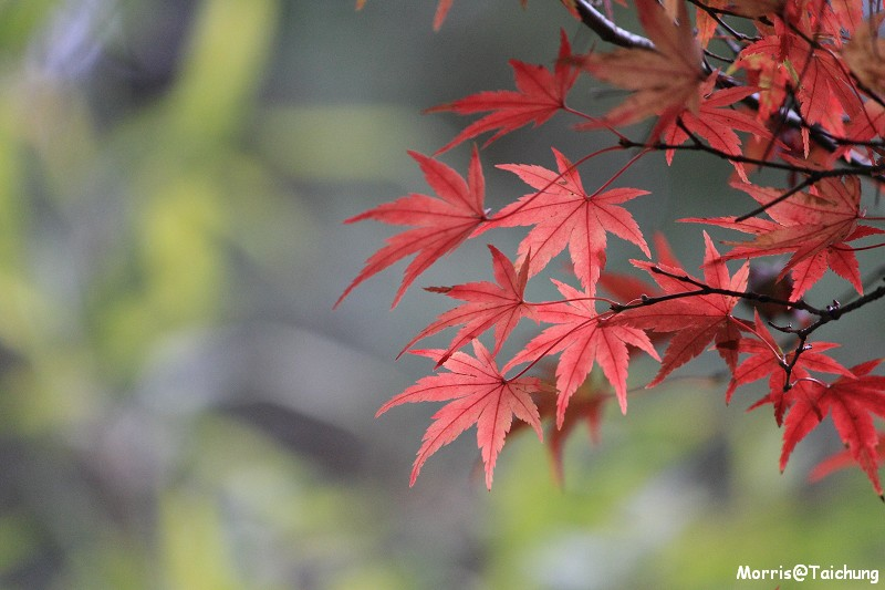 2011 福壽山楓葉 (65)
