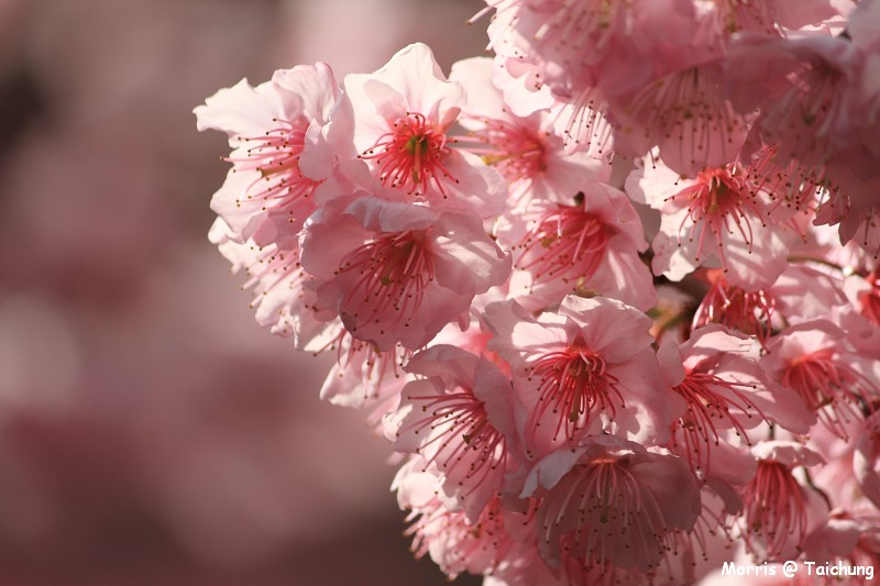 2012 武陵櫻花季 (44)