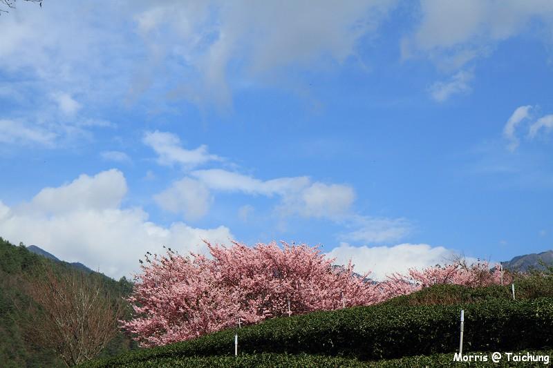 2012 武陵櫻花季 (73)
