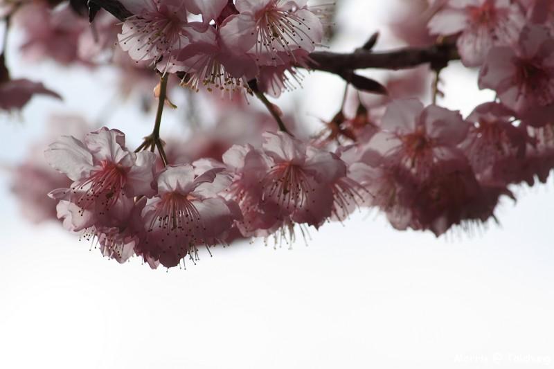 2012 武陵櫻花季 (28)
