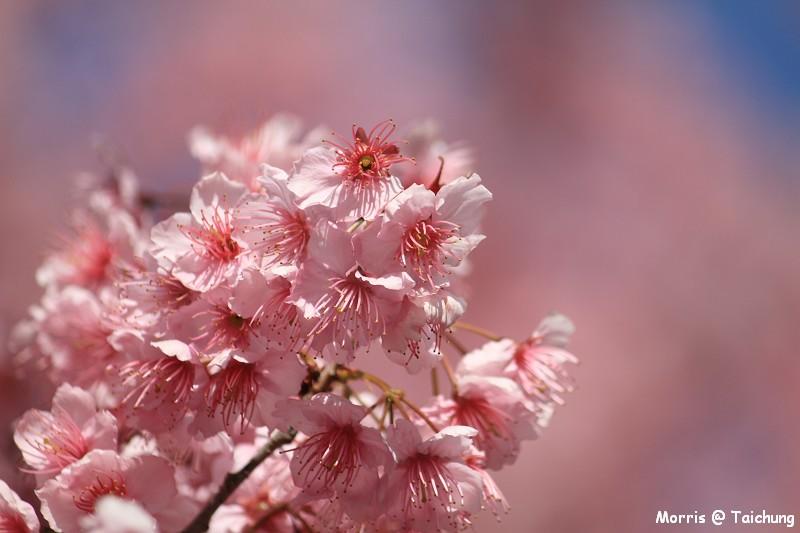 2012 武陵櫻花季 (68)