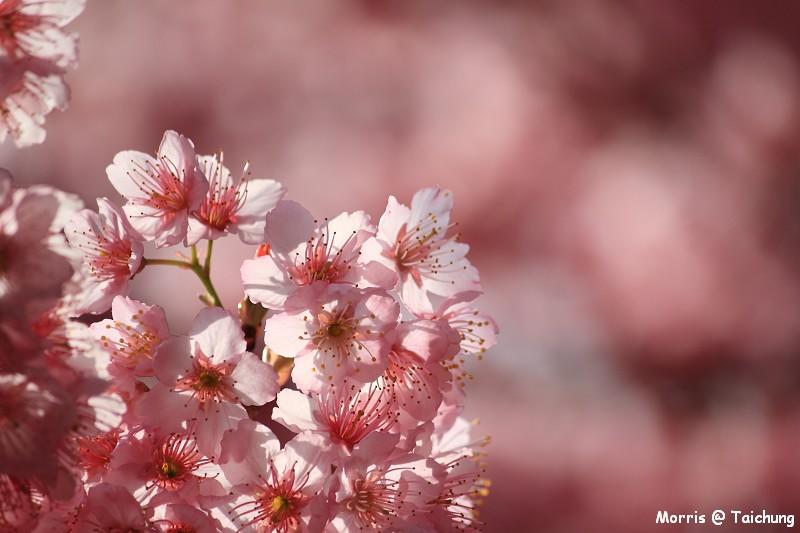 2012 武陵櫻花季 (55)