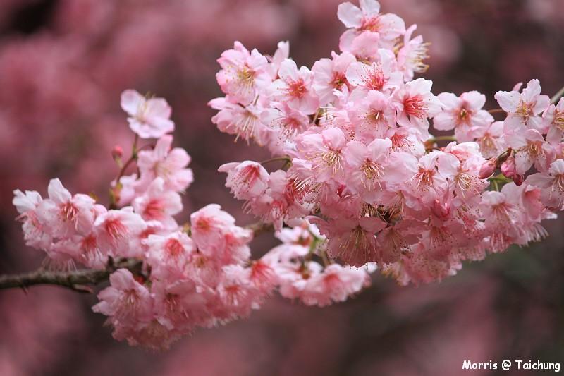 2012 武陵櫻花季 (18)