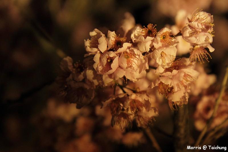 2012 武陵櫻花季 (1)
