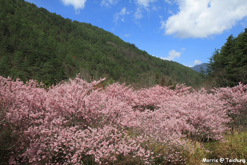 2012 武陵櫻花季 (89)