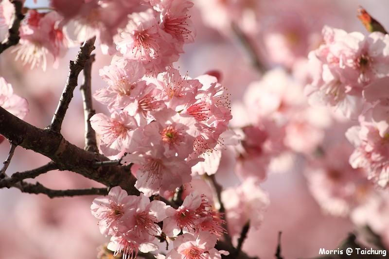 2012 武陵櫻花季 (45)