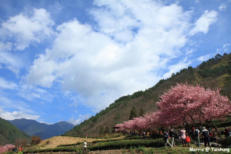 2012 武陵櫻花季 (75)