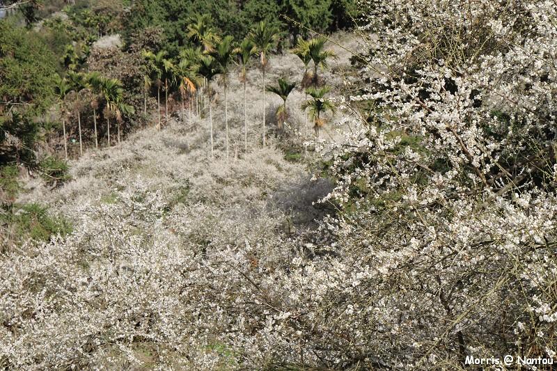 2012 烏松崙 梅花開 (58)