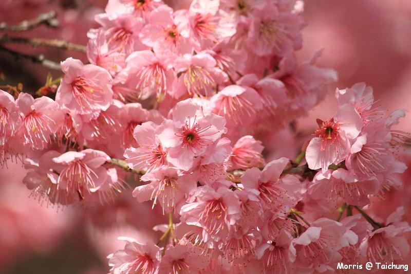 2012 武陵櫻花季 (65)