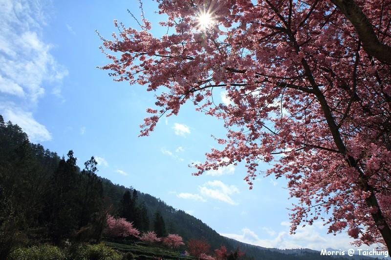 2012 武陵櫻花季 (90)