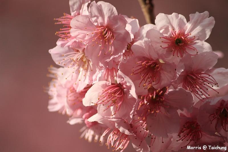 2012 武陵櫻花季 (25)