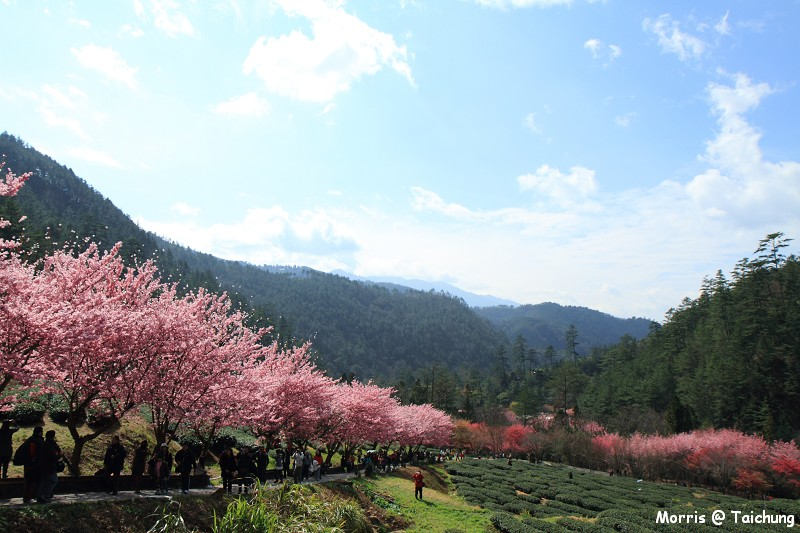 2012 武陵櫻花季 (80)