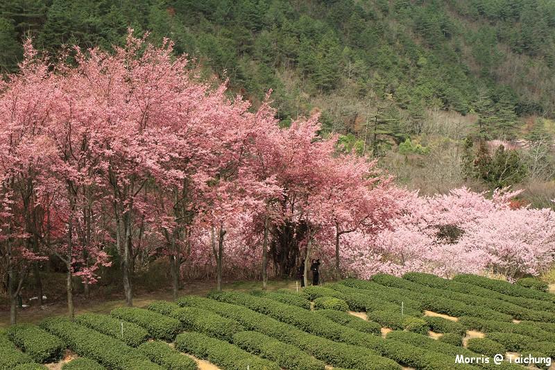 2012 武陵櫻花季 (87)