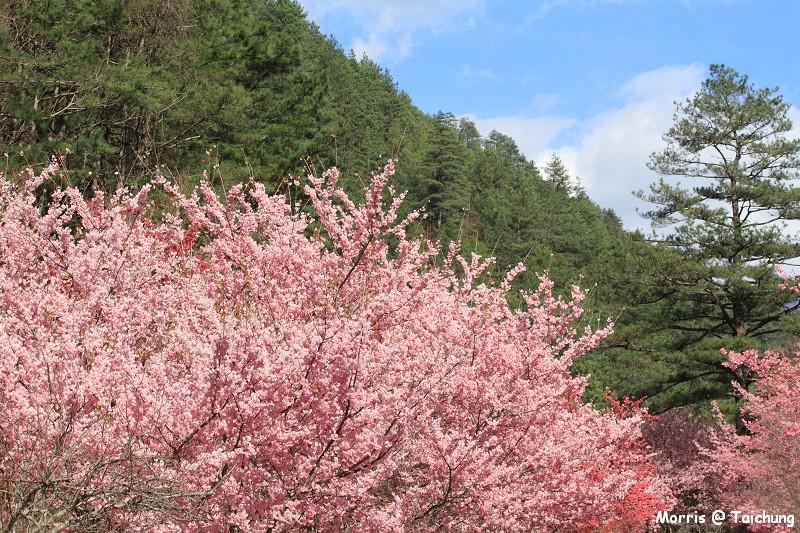 2012 武陵櫻花季 (69)