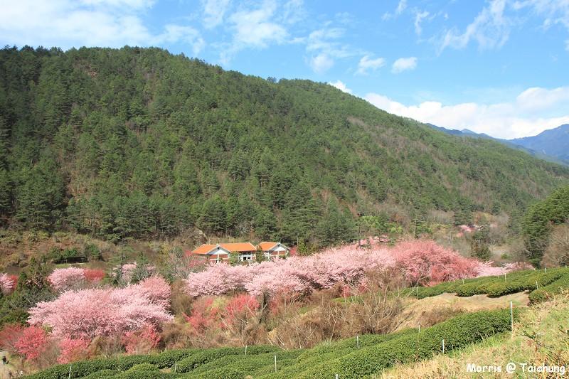2012 武陵櫻花季 (85)