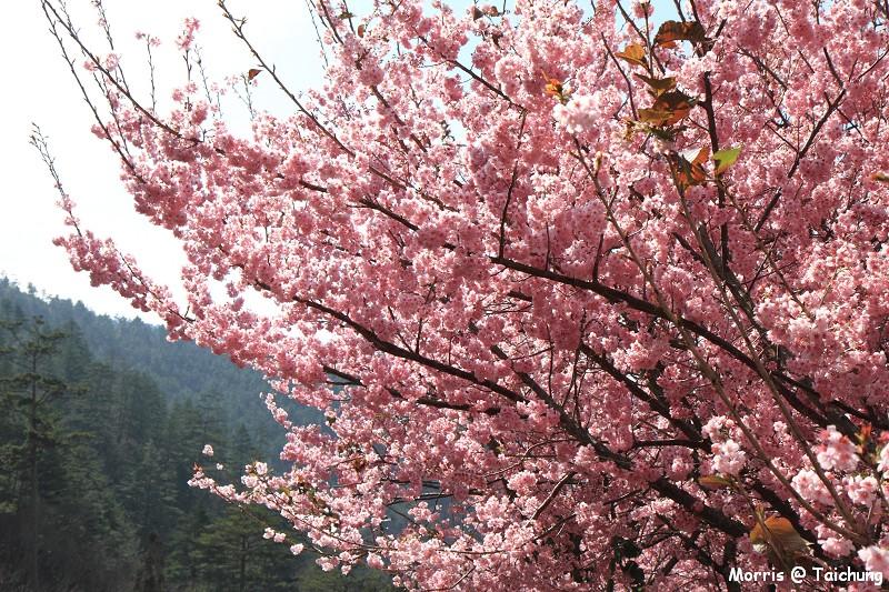2012 武陵櫻花季 (78)